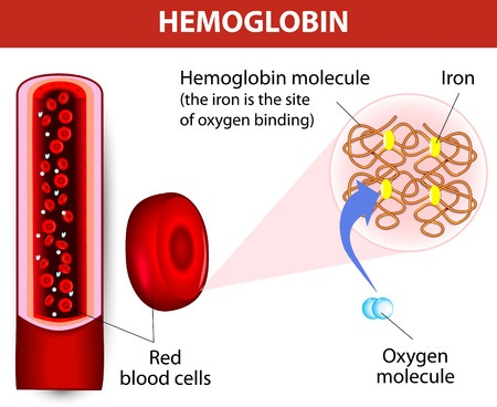 plant hemoglobin Red blood cells are blood components that transport oxygen throughout the body these cells contain millions of oxygen-binding hemoglobin molecules.